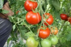 BIO-Pflanze Tomate rund Sieger Alte Tomatensorte
