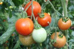 BIO-Pflanze Tomate rund Rotes Zebra Alte Tomatensorte