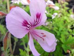BIO-Pflanze Zitronengeranie Duftgeranie