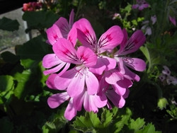 BIO-Pflanzen Rarität Pink capitatum Duftgeranie