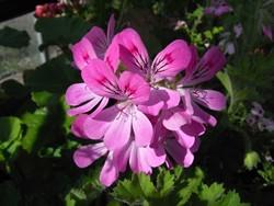 P Pink capitatum Duftgeranie BIO-Pflanze Rarität