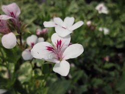 P Pelargonium tricuspidatum botanische Pelargonie BIO