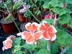 P Mr. Wren Geranienrarität BIO-Blumen Pflanze