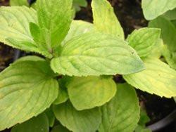 BIO-Kräuterpflanze Ingwerminze