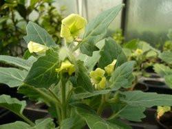 H4 Bilsenkraut weißes Giftig BIO-Zauberkräuter-Pflanze