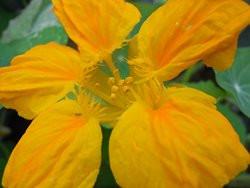 BIO-Pflanze Kräuter- Kapuzinerkresse rankend Bunte Mischung