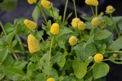 H4 BIO-Pflanze Parakresse