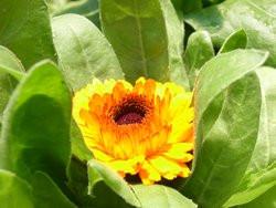 H1 Ringelblume gelb BIO Heilkräuterpflanze