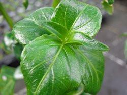 H11 Pilzkraut BIO-Kräuterpflanze
