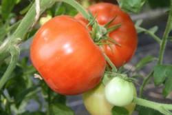 BIO-Pflanze Tomate rund New Hampshire Surecrop