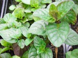F2/H9 BIO-Kräuterpflanze Orangenminze