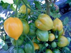 BIO-Pflanze Tomate rund Anna Hermann Alte Tomatensorte