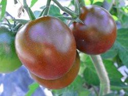 BIO-Pflanze Fleisch-Tomate Lilac Alte Tomatensorte