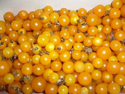 BIO-Pflanze Wild-Tomate Golden Current