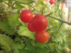 BIO-Pflanze Tomate Wild- Rote Murmel