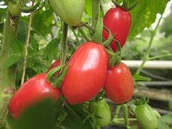 BIO-Pflanze Oliven-Tomaten Cuban Pink Alte Tomatensorte