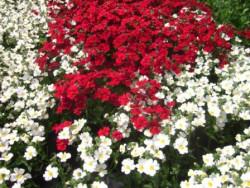 H5 BIO-Blumen Elfenspiegel Sunsutia Rot