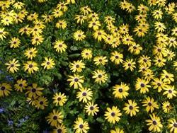 H5 BIO-Blumen Kapmargeriten gelb