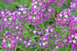 H5 BIO-Blumen Alyssum Blauer Duftsteinerich Purple Prinzess