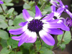 H8 Sternblume Mischung BIO-Blumen 3 Stück