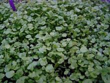 BIO-Kräuterpflanze Löffelkraut
