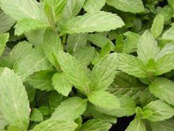 F2/H9 BIO-Kräuterpflanze Minze Persische Minze