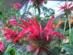 FL1 Goldmelisse rot 'Squaw' BIO Duft-Kräuter-Pflanze