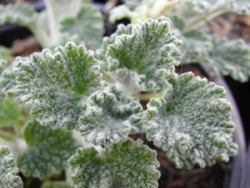 FL1 BIO-Pflanze Andorn