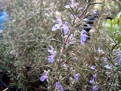 H10 Rosmarin winterhart Sudbury Blue BIO-Topfkräuter-Pflanze
