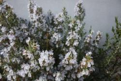 BIO-Rosmarin-Pflanze winterhart 'ARP'