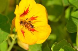 BIO-Kräuter-Samen Kapuzinerkresse nicht rankend Bunte Mischung