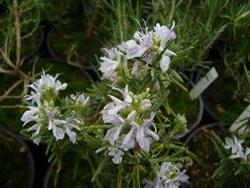 H10 Rosmarin Florenz weiß BIO-Topfkräuter-Pflanze