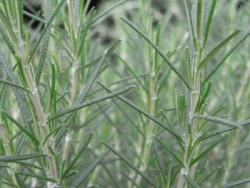 H10 Rosmarin winterhart Beneden BIO-Topfkräuter-Pflanze