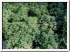 H3 BIO-Basilikum-Pflanze Bubikopf, Griechisches Busch-Basilikum